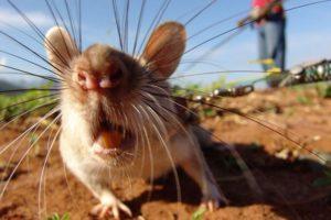 Какие запахи не любят мыши.