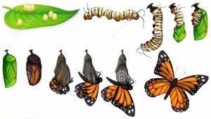 Жизненный цикл бабочки.