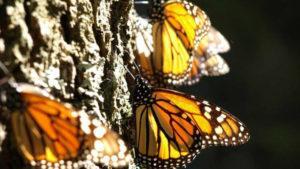 Бабочки - это насекомые.