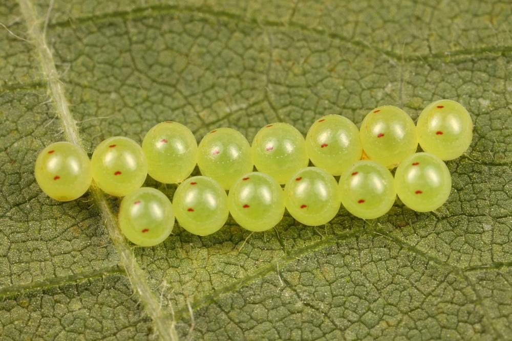 Развитие бабочки начинается с того, что взрослая особь откладывает яйца. В одной кладке может быть как 3-5, так и 100-300 яиц. Для того чтобы защитить кладку, бабочки размещают её в укромном месте, либо обустраивают специальный кокон. В зависимости от вида, бабочки могут делать несколько кладок.