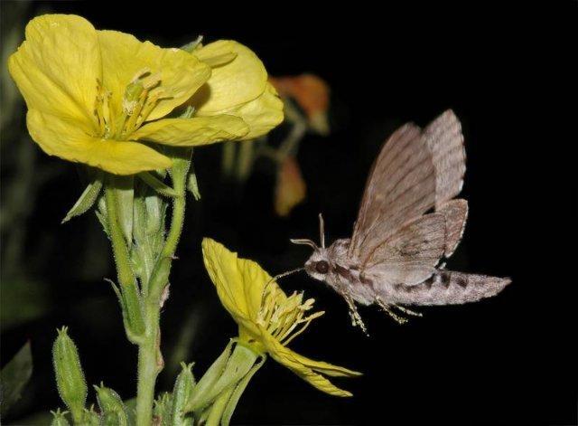 Бабочка Бражник.