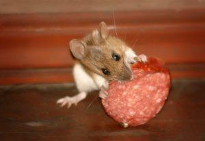 Как выбрать приманку для мышей.