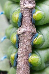 У гусениц есть ножки.