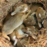 Зайцы с потомством.
