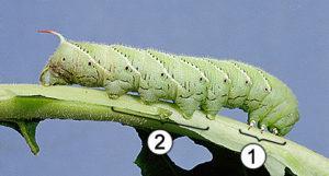 Сколько ног у гусеницы.