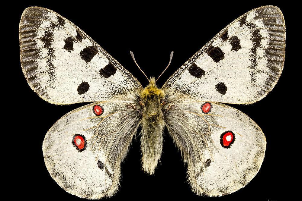 Арктическая бабочка.