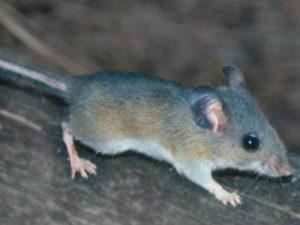 Обыкновенная сера мышь.