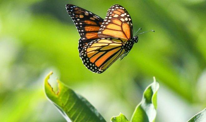 Бабочка Монарх.