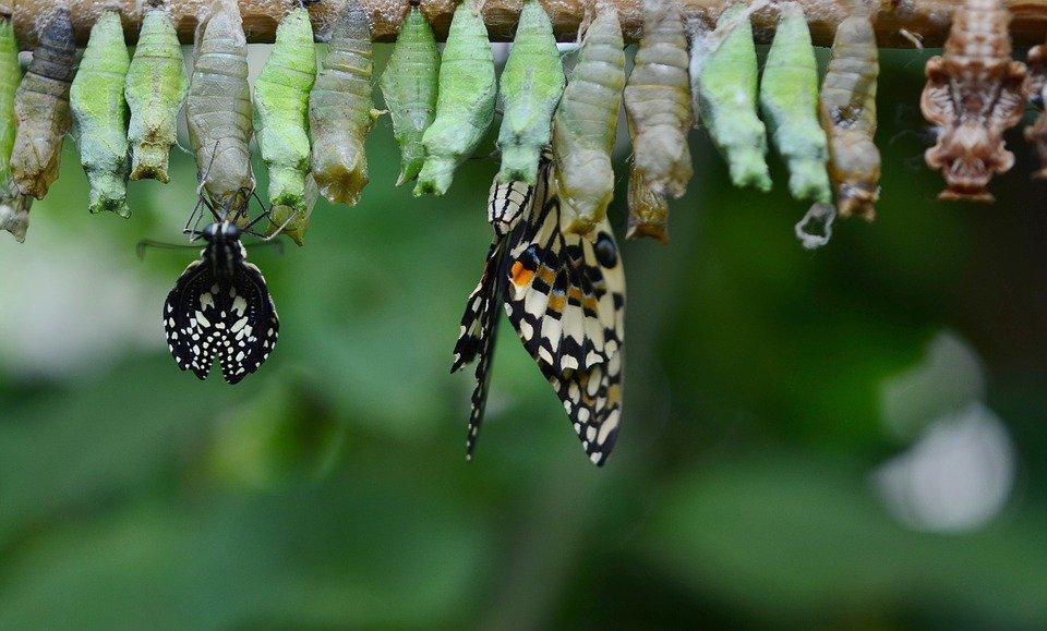 Куколки разных видов бабочек могут иметь разнообразные формы и окрас. Перед окукливанием гусеница прикрепляется к какой-либо поверхности с помощью шёлковой нити, скрывается в верхнем слое почвы или прячется в опавшей листве. После того, как взрослая особь сформируется, оболочка куколки трескается и на свет появляется бабочка.