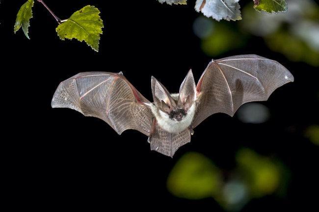 Летучая мышь: милость или страх.