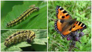 Гусеница и бабочка крапивницы.