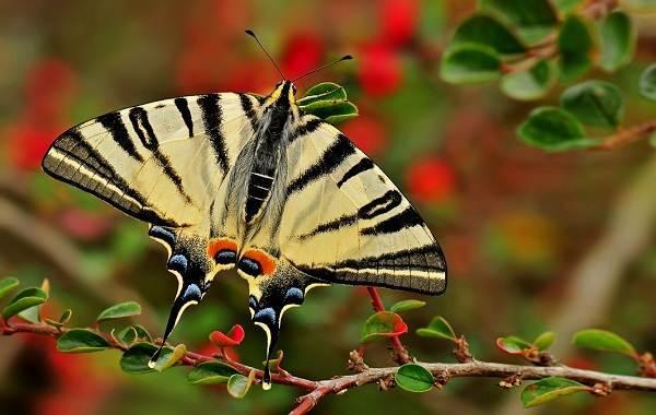 Бабочка Подалирий.