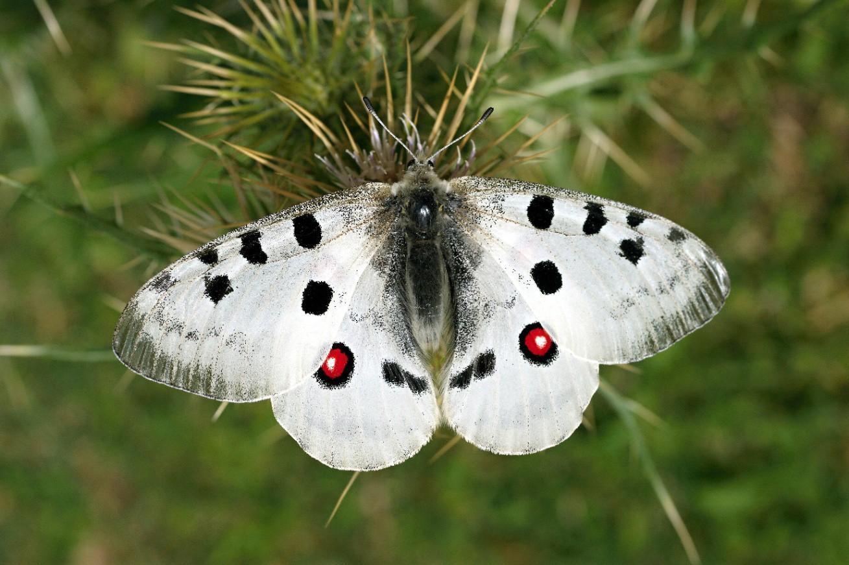 Бабочка с пятнышками на крыльях, среди которых есть два ярких, будто глазки.