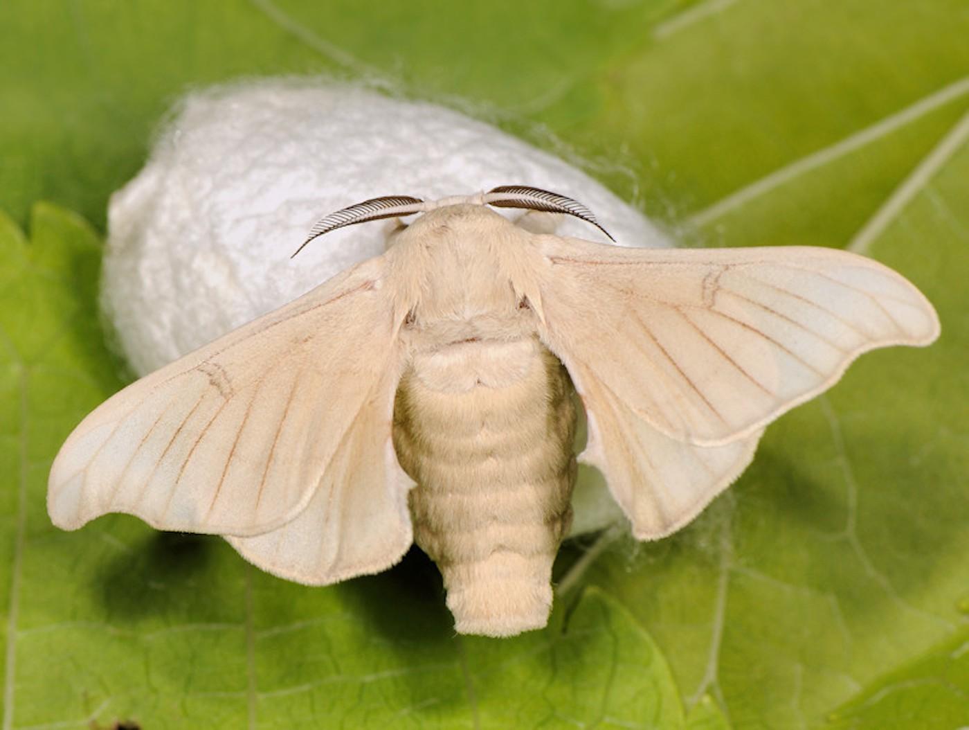 Родной брат одомашненного шелкопряда, встречается очень редко.