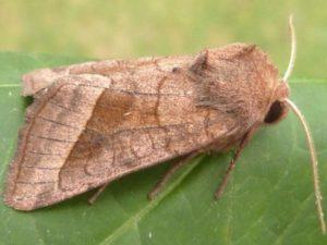 Бабочка картофельной совки.