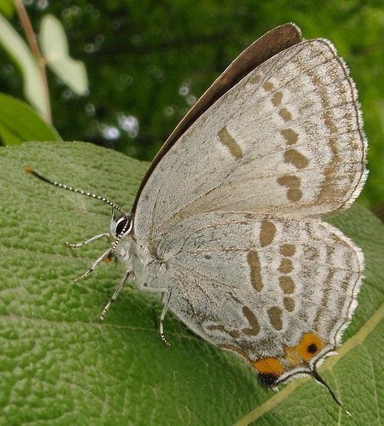 Красивая бабочка с красивым хвостиком и серебристо-голубыми полосками.