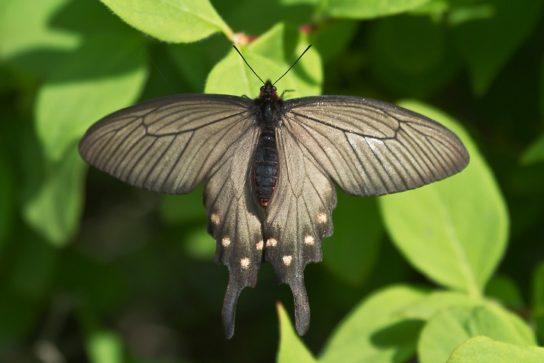 Элегантная бабочка из парусников, с красивыми хвостиками на крыльях.