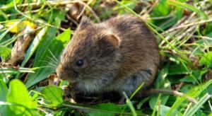 Мыши в теплице: как избавиться.