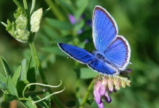 Очень малочисленная бабочка с перламутровыми крыльями и красивым отливом.