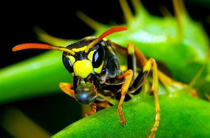 Оса очень агрессивное насекомое. Жало есть только у самок. Оно представлено в виде яйцеклада изменённого. Челюсти есть как у мужских, так и у женских особей. Жало используется не более 5 раз подряд. В связи с этим укусов челюстями отмечается намного больше. На количество яда и проколов влияет возраст. Более взрослая особь имеет большие дозы яда.