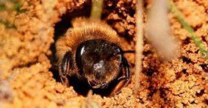 Земляная пчела.