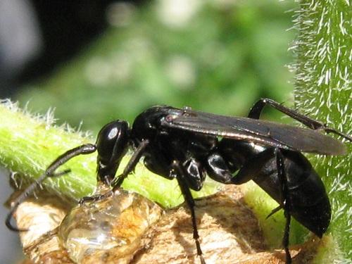 Часто с полными повадками ос есть насекомые чёрного цвета. Это те же самые чёрные осы. Они живут часто отдельно, но есть и семейные особи. Они являются хищниками и растят потомство на других насекомых.
