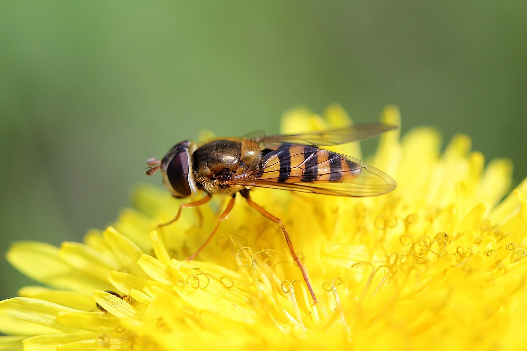 Это представители семейства журчалок, коих более 6000 разновидностей. Это полезное насекомое опылитель, что не несет вреда человеку и не кусается. Является хорошим опылителем, поедает тлю.