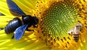 Пчела плотник: фото.