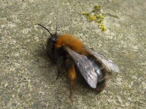 Земляная пчела Андрена Кларкелла.