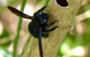 Черная пчела плотник.