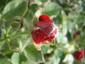 Вредители на розах.