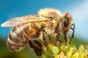 Земляные пчёлы.