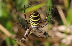 Аргиопа паук: фото.