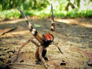 Бразильский странствующий паук.