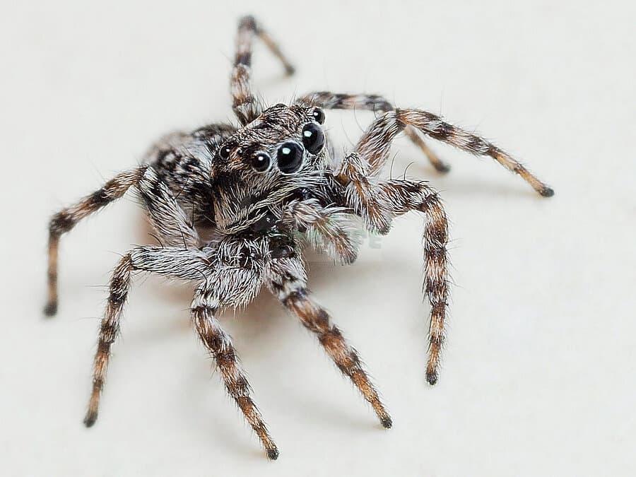 Один из самых крупных представителей. Длина женской особи -1,52 см, а мужской — 1,27 см. Обитает в Северной Америке.