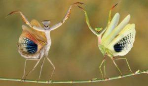 Богомол насекомое.