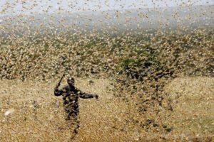Саранча: насекомое.