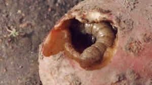 Какое насекомое поедает листья картофеля.