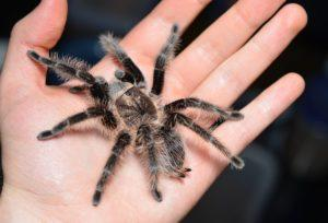 Домашний паук.