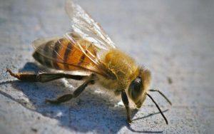 Одомашненные насекомые.