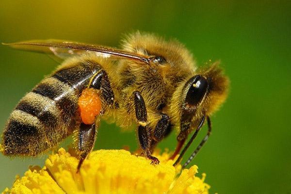Этот вид очень похож на обычных медоносных пчёл, неспециалисту сложно отличить эти два вида. Но в отличии от одомашненных насекомых, африканизированные пчёлы агрессивны и нападают большой стаей.