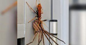 Странствующий паук.