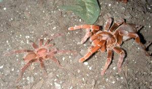 Бабуиновый паук.
