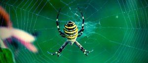 Аргиопа паук.