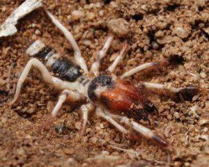 Фото паука фаланга.