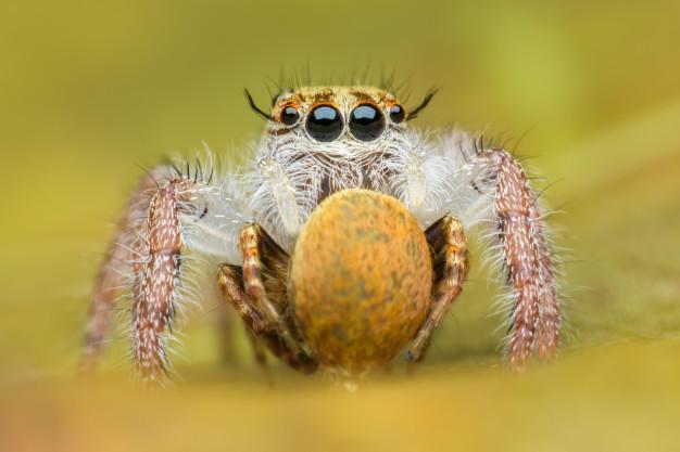 Не плетёт паутину. Для ловли добычи крепит шёлковую нить на какой-нибудь предмет и использует её в качестве тарзанки.