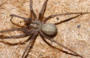 Домовой паук тегенария.