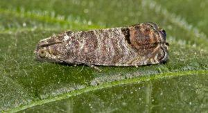 Бабочка грушевой плодожорки.