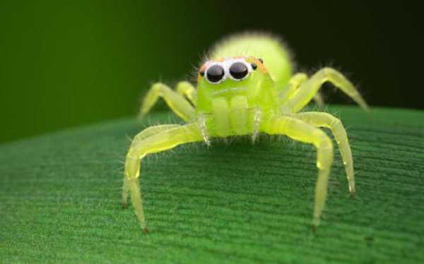 Населяет Квинсленд, Новую Гвинею, Новый Южный Уэльс. На теле есть бакенбарды белого цвета.