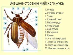 Фото майского жука.